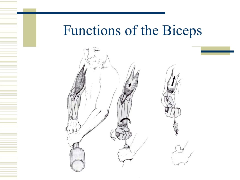 Functions of the Biceps