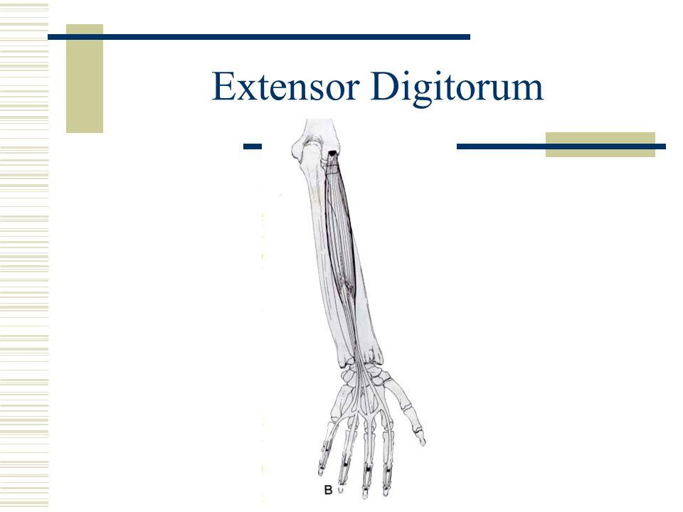 Extensor Digitorum