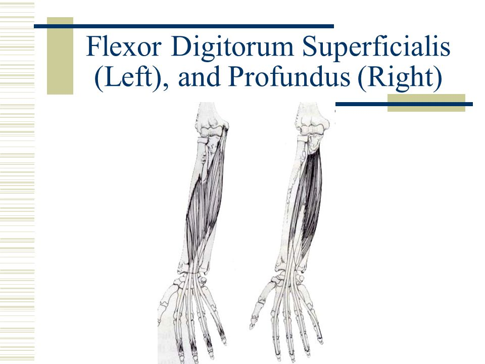 Flexor Digitorum Superficialis (Left), and Profundus (Right)
