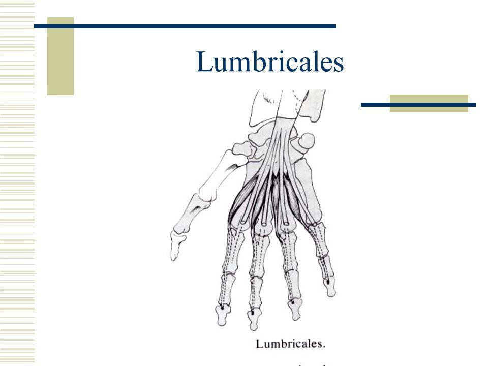 Lumbricales