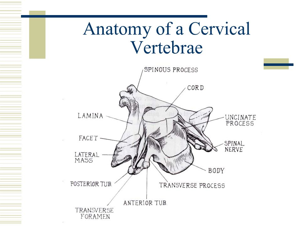 Anatomy of a Cervical Vertebrae