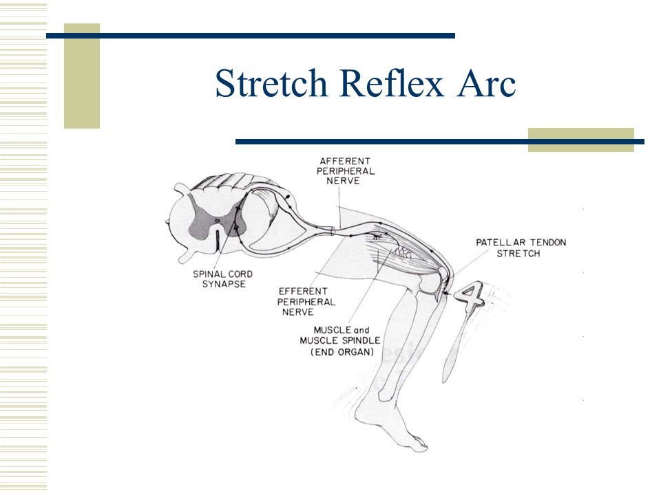 Stretch Reflex Arc