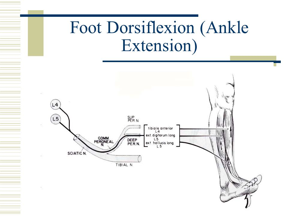 Foot Dorsiflexion (Ankle Extension)
