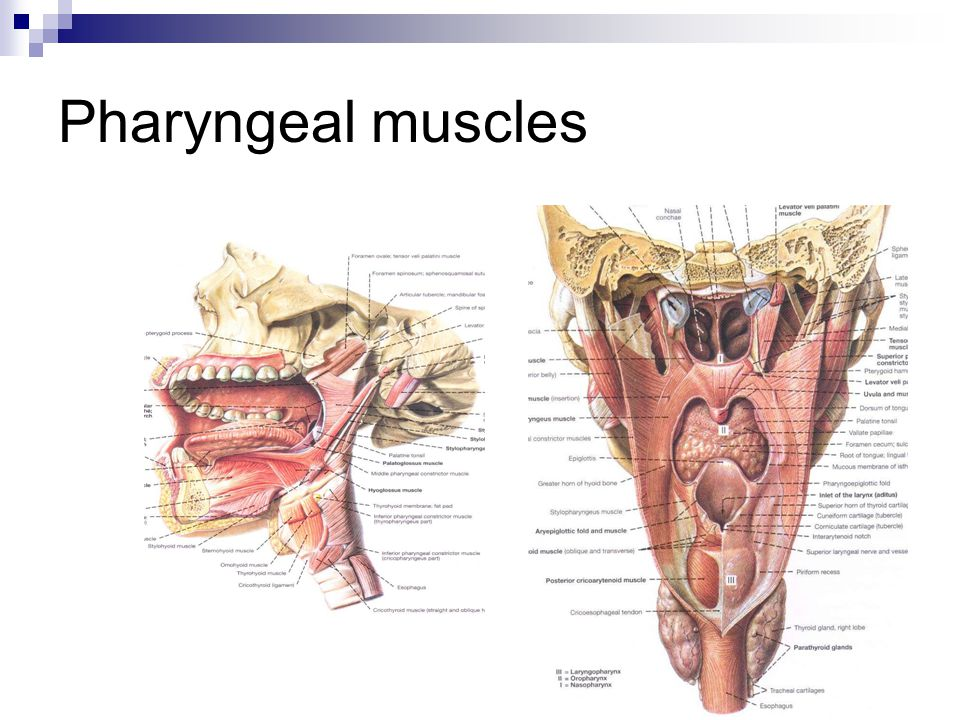Pharyngeal muscles