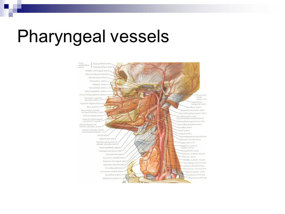 Pharyngeal vessels Ascending pharyngeal, Ascending palatine, Tonsillar, Greater/lesser palatine, Inferior/superior thyroid/lingual.