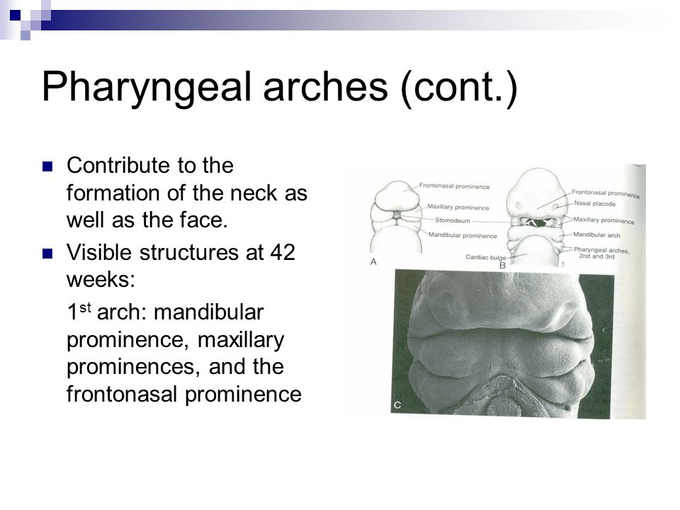Pharyngeal arches (cont.)