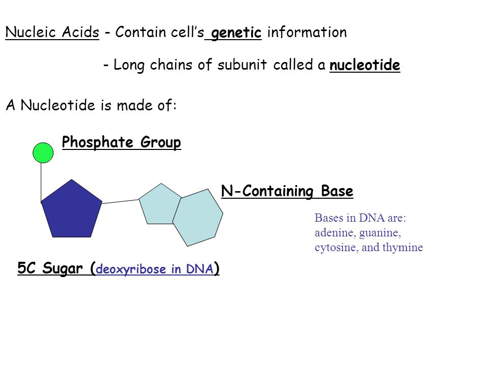 Nucleic Acids - Contain cell's genetic information