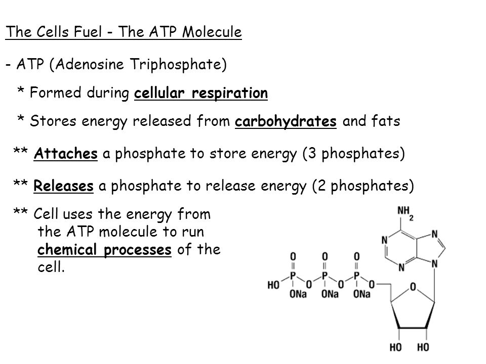 The Cells Fuel - The ATP Molecule
