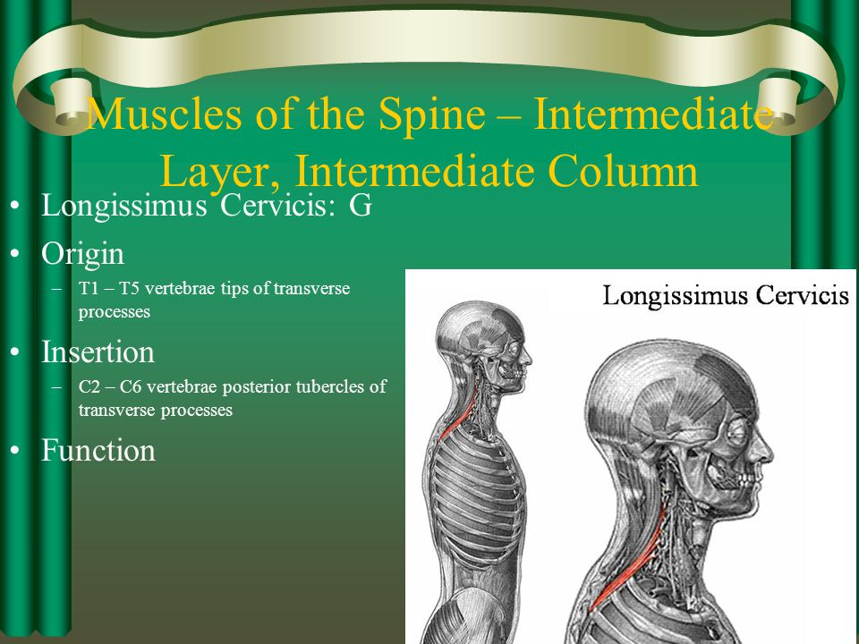 Muscles of the Spine – Intermediate Layer, Intermediate Column