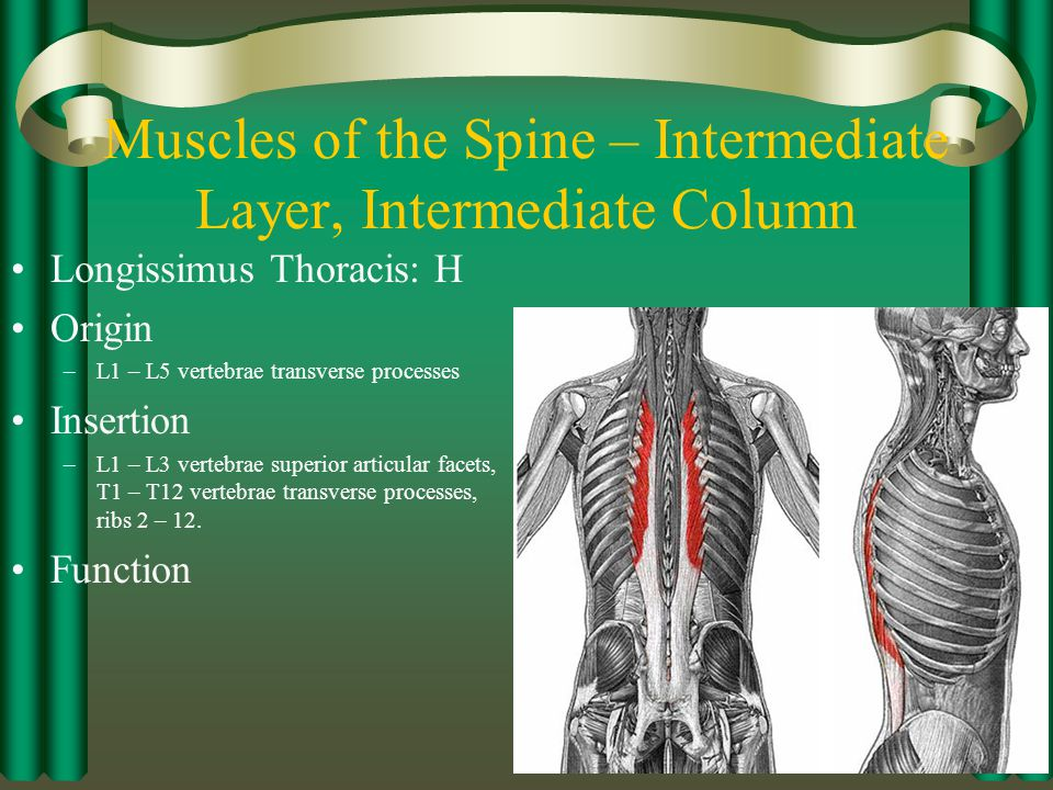 Muscles of the Spine – Intermediate Layer, Intermediate Column
