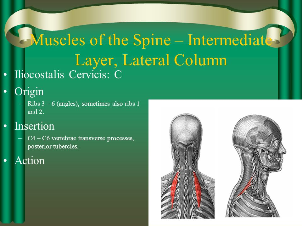 Muscles of the Spine – Intermediate Layer, Lateral Column