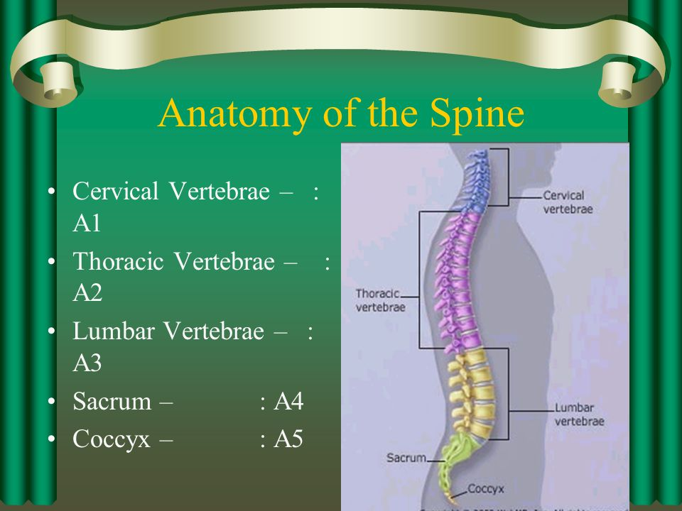 Anatomy of the Spine Cervical Vertebrae – : A1