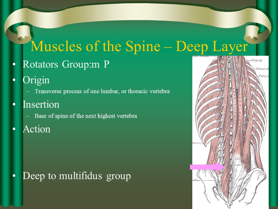 Muscles of the Spine – Deep Layer