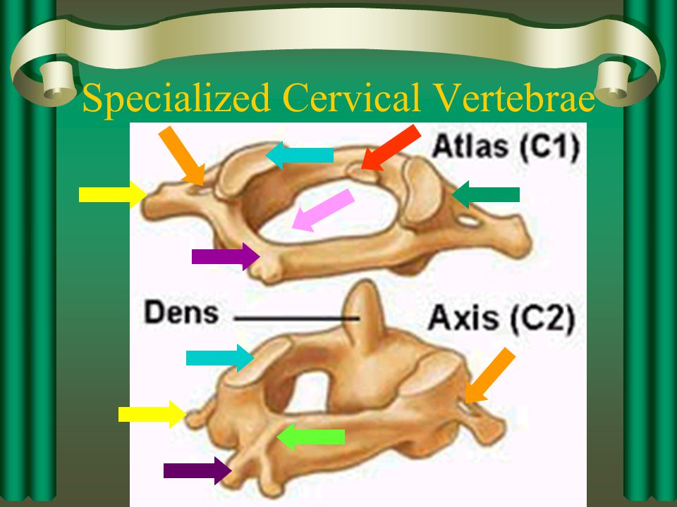 Specialized Cervical Vertebrae
