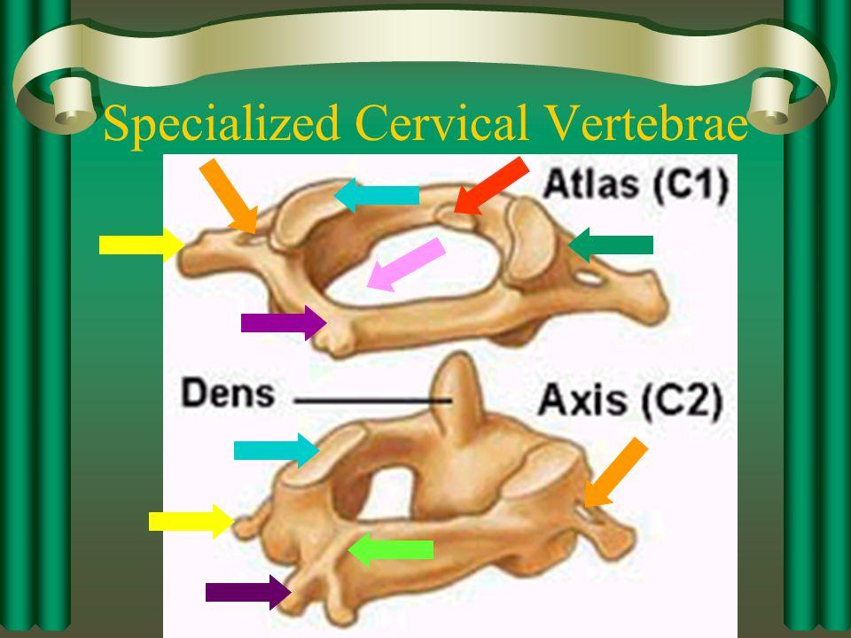 Specialized Cervical Vertebrae