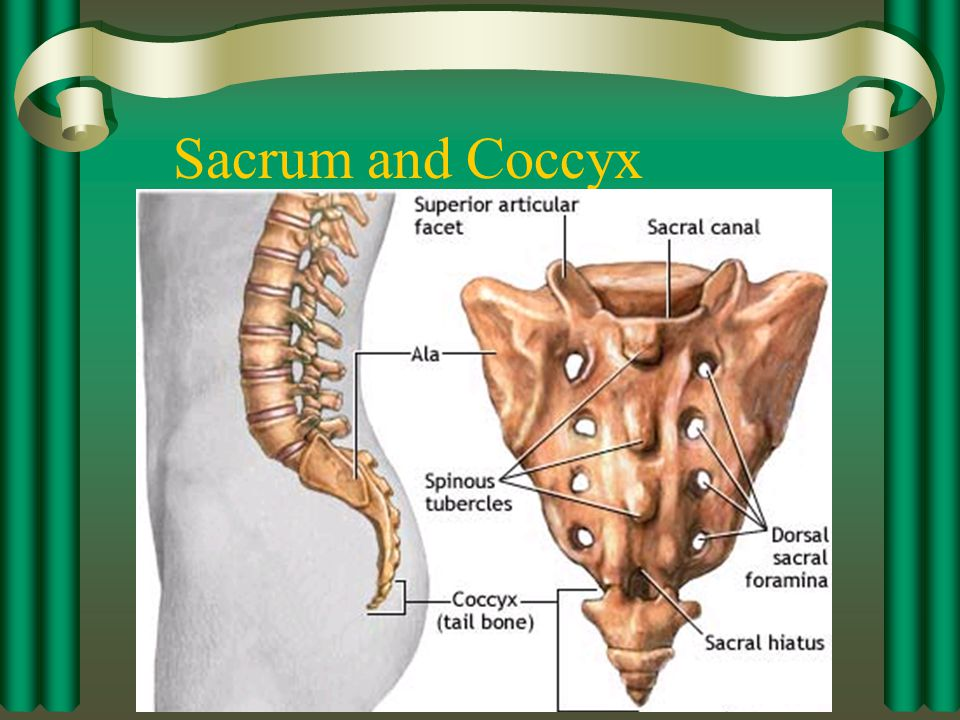 Sacrum and Coccyx Remember that the sacrum is 5 fused vertebrae and the coccyx is 4 fused vertebrae.