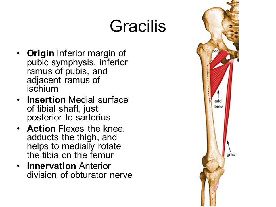 Gracilis Origin Inferior margin of pubic symphysis, inferior ramus of pubis, and adjacent ramus of ischium.