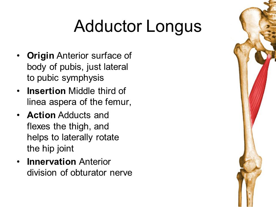 Adductor Longus Origin Anterior surface of body of pubis, just lateral to pubic symphysis. Insertion Middle third of linea aspera of the femur,