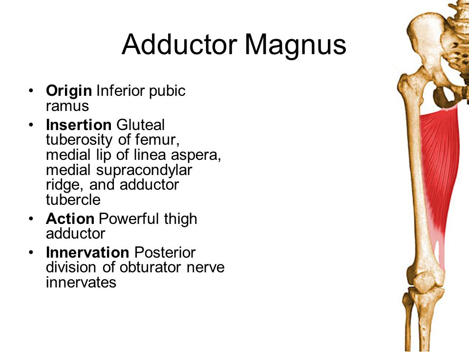 Adductor Magnus Origin Inferior pubic ramus