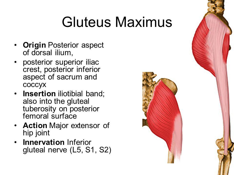 Gluteus Maximus Origin Posterior aspect of dorsal ilium,
