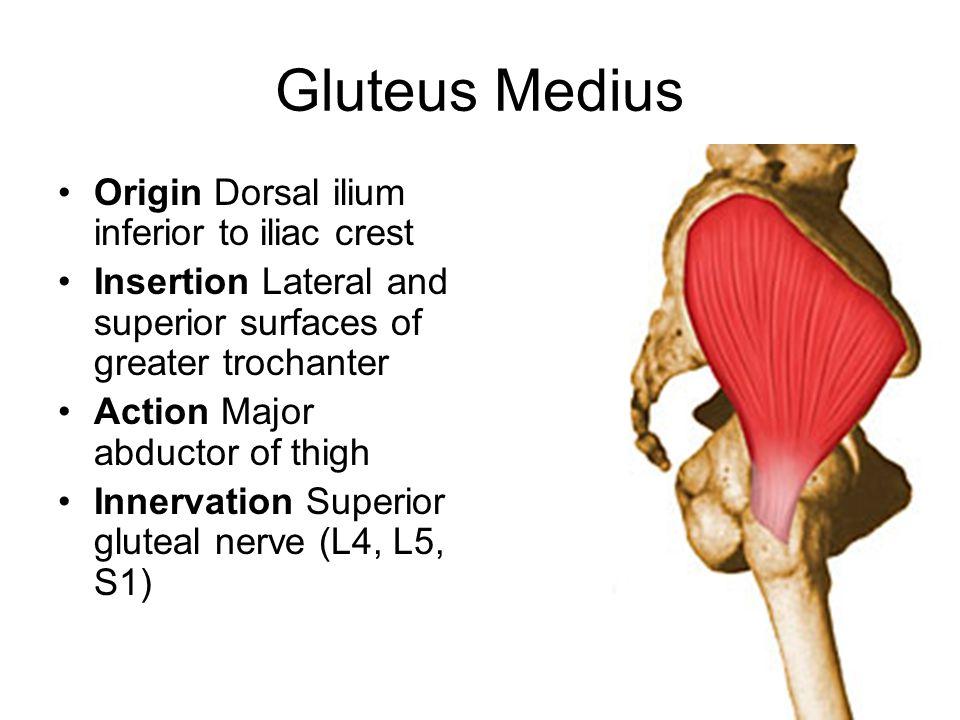 Gluteus Medius Origin Dorsal ilium inferior to iliac crest
