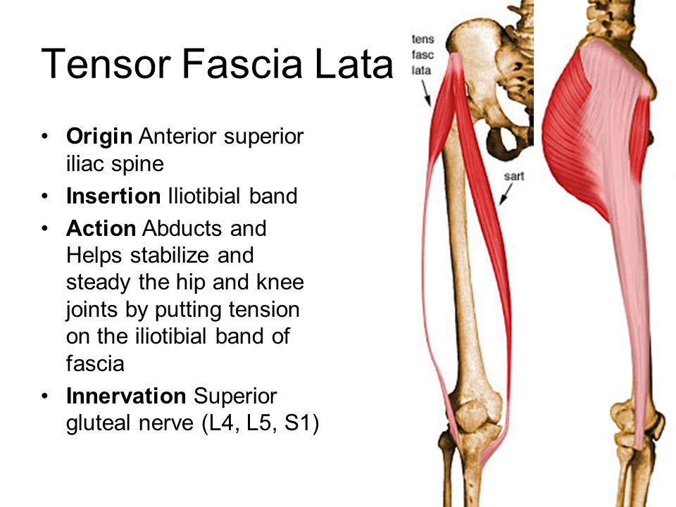 Tensor Fascia Lata Origin Anterior superior iliac spine