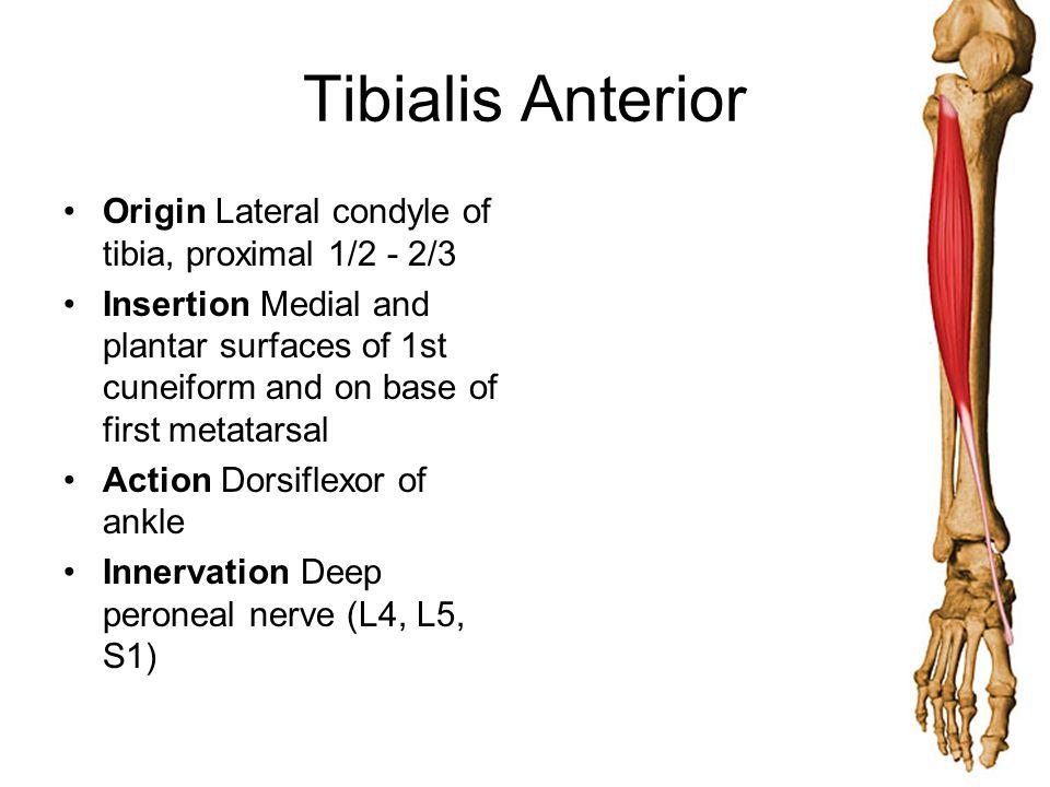 Tibialis Anterior Origin Lateral condyle of tibia, proximal 1/2 - 2/3