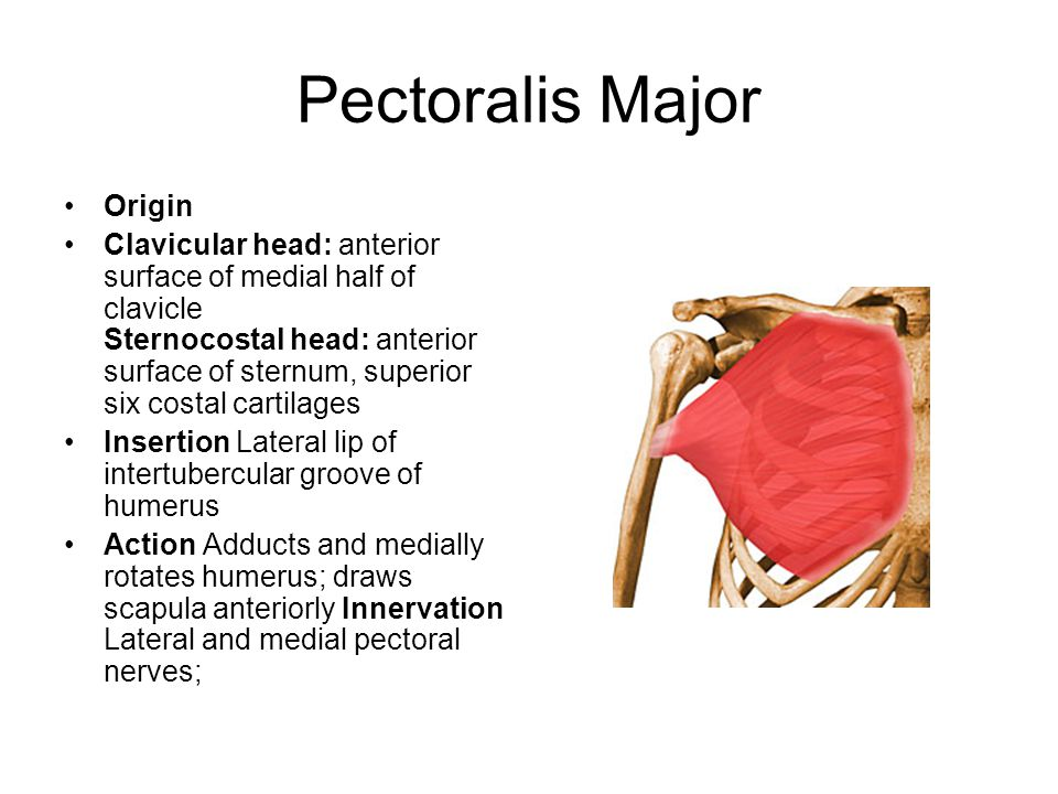 Pectoralis Major Origin