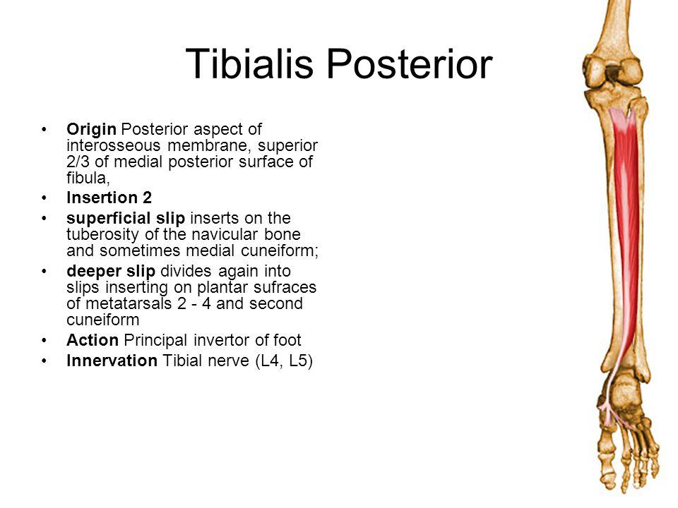 Tibialis Posterior Origin Posterior aspect of interosseous membrane, superior 2/3 of medial posterior surface of fibula,