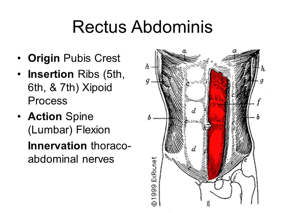 Rectus Abdominis Origin Pubis Crest
