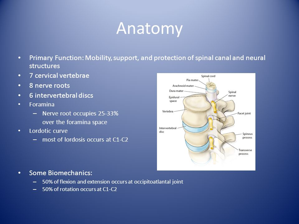 Anatomy Primary Function: Mobility, support, and protection of spinal canal and neural structures. 7 cervical vertebrae.