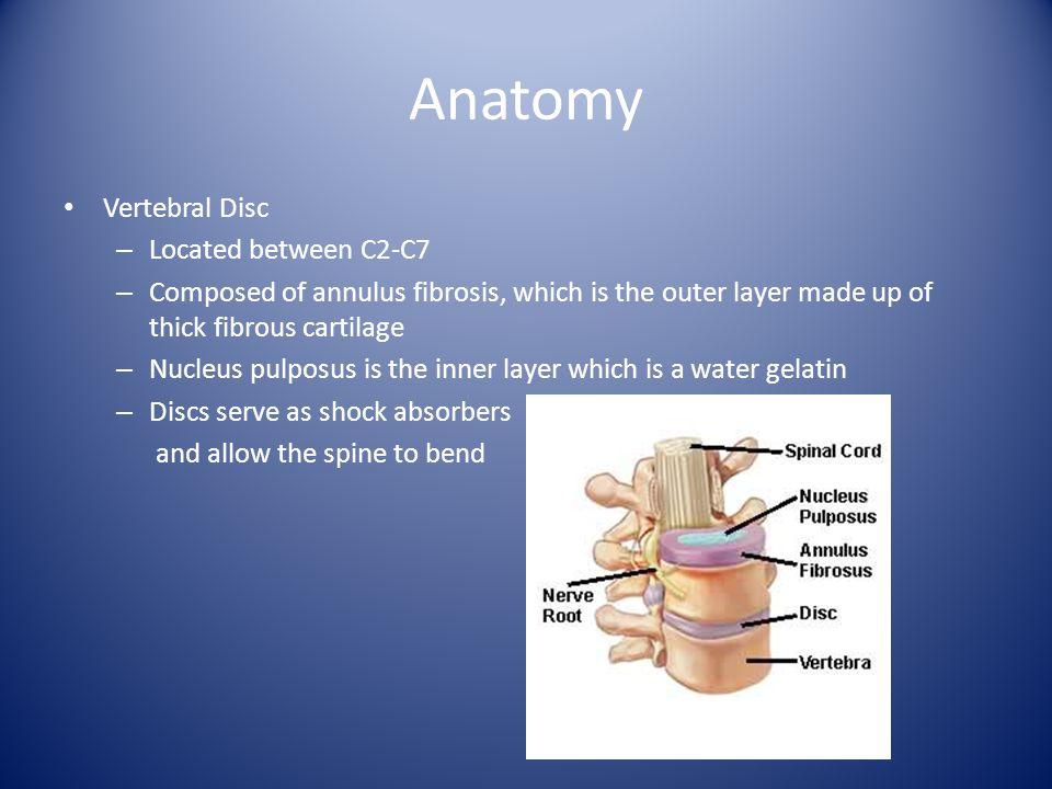 Anatomy Vertebral Disc Located between C2-C7