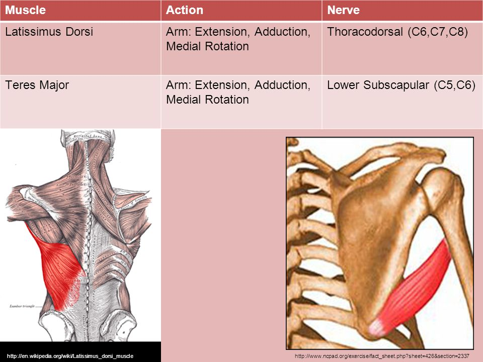 Arm: Extension, Adduction, Medial Rotation Thoracodorsal (C6,C7,C8)