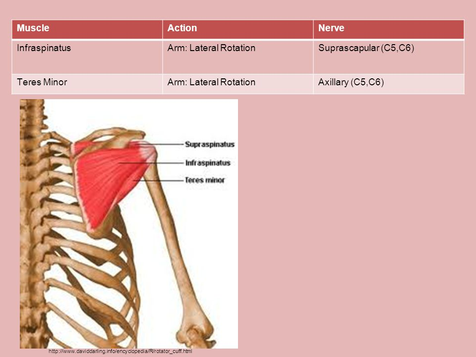 Muscle Action Nerve Infraspinatus Arm: Lateral Rotation