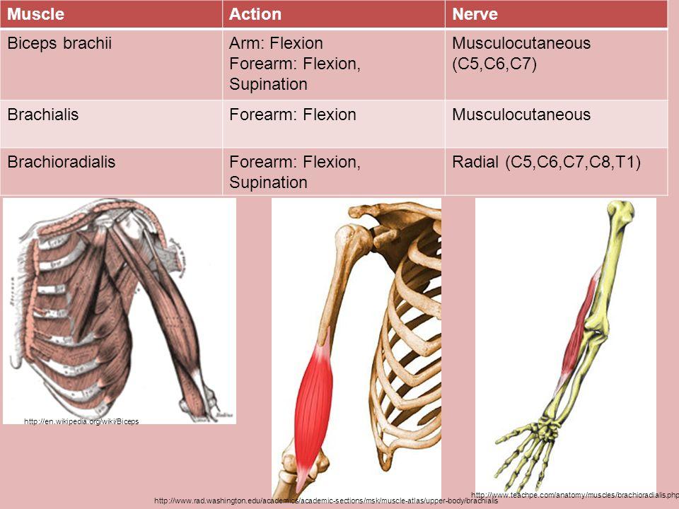 Forearm: Flexion, Supination Musculocutaneous (C5,C6,C7)