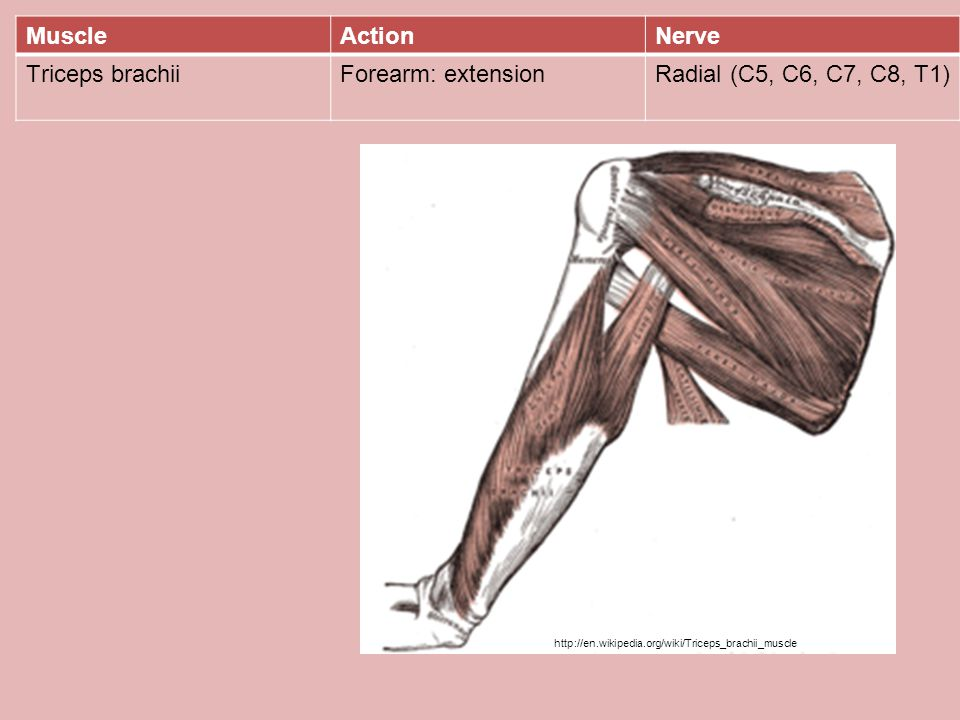 Muscle Action Nerve Triceps brachii Forearm: extension