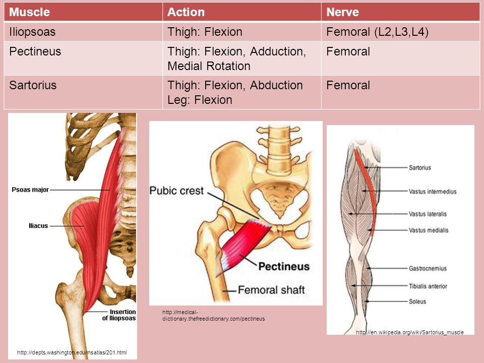 Thigh: Flexion, Adduction, Medial Rotation Femoral Sartorius