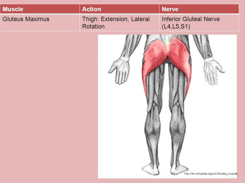 Thigh: Extension, Lateral Rotation Inferior Gluteal Nerve (L4,L5,S1)