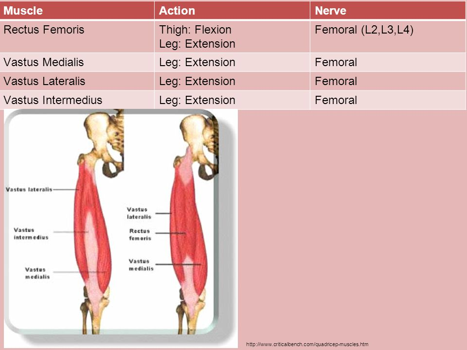 Muscle Action Nerve Rectus Femoris Thigh: Flexion Leg: Extension