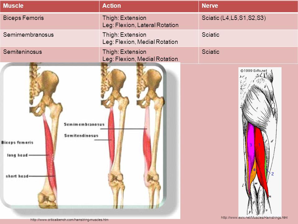 Leg: Flexion, Lateral Rotation Sciatic (L4,L5,S1,S2,S3)