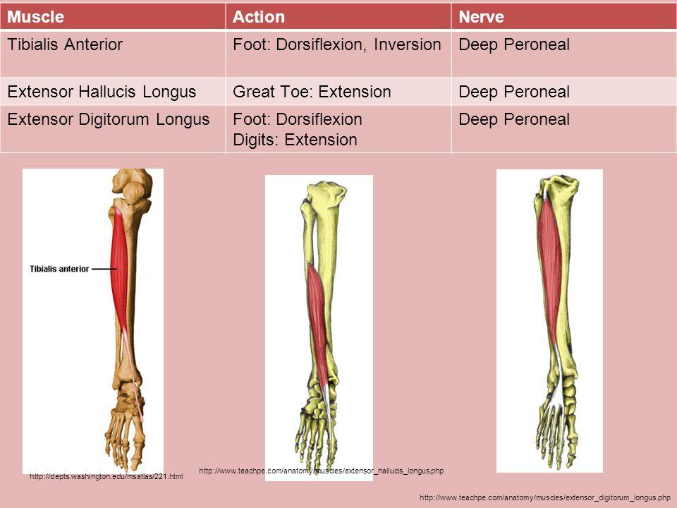 Foot: Dorsiflexion, Inversion Deep Peroneal Extensor Hallucis Longus