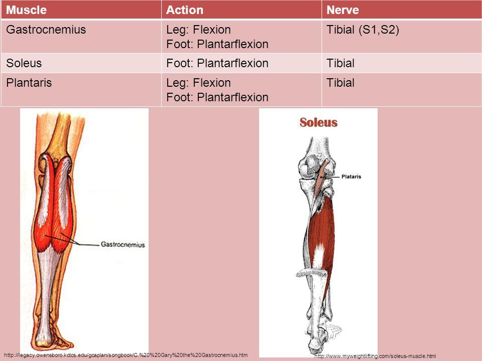 Muscle Action Nerve Gastrocnemius Leg: Flexion Foot: Plantarflexion