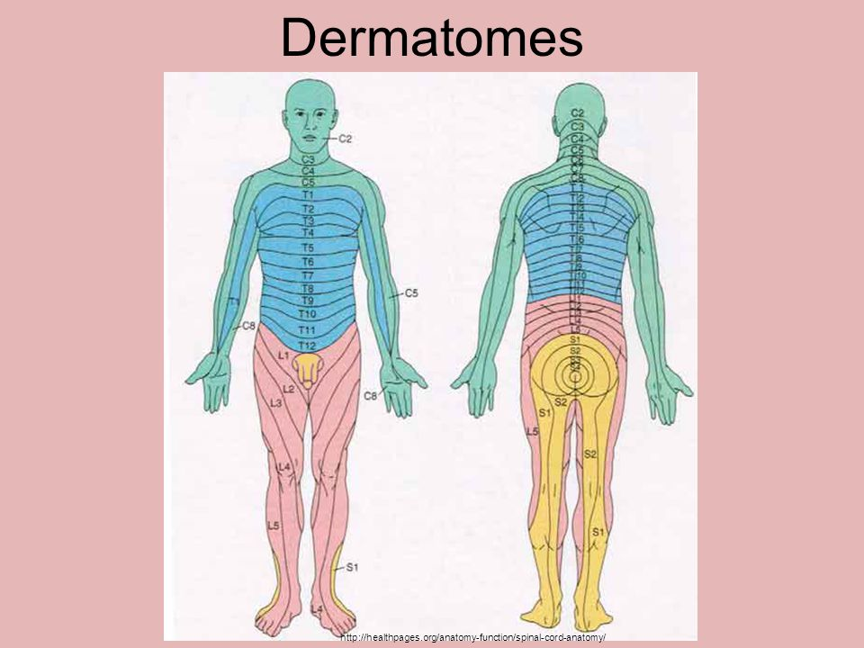 Dermatomes http://healthpages.org/anatomy-function/spinal-cord-anatomy/