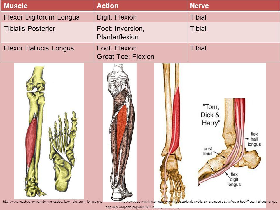Flexor Digitorum Longus Digit: Flexion Tibial Tibialis Posterior