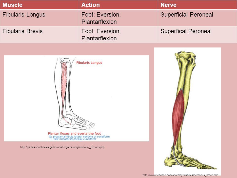 Foot: Eversion, Plantarflexion Superficial Peroneal Fibularis Brevis