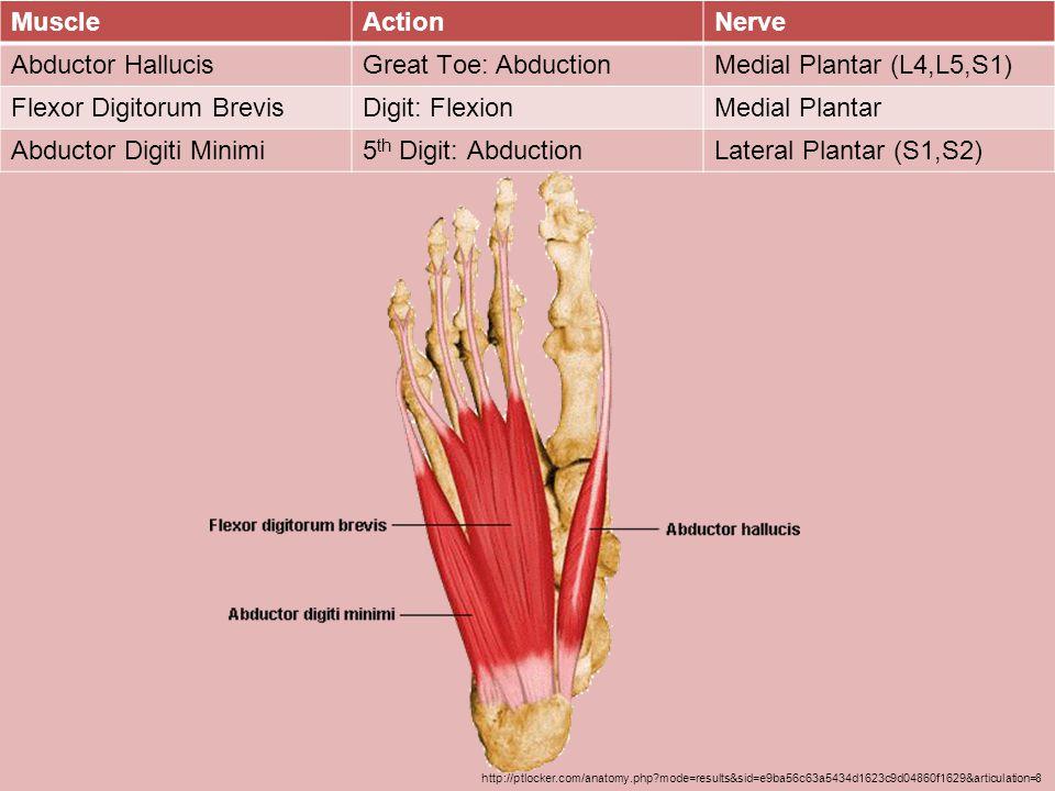 Flexor Digitorum Brevis Digit: Flexion Medial Plantar
