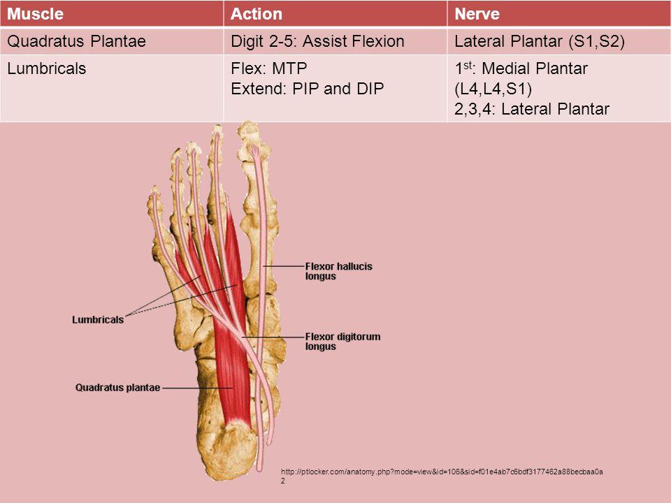 Digit 2-5: Assist Flexion Lateral Plantar (S1,S2) Lumbricals Flex: MTP