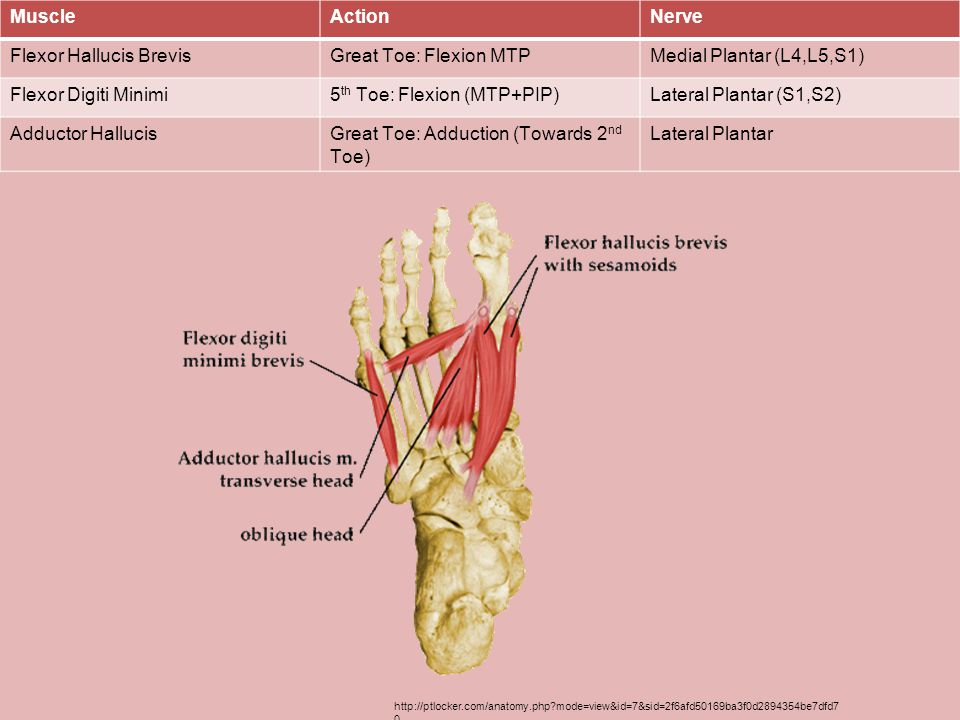 Flexor Hallucis Brevis Great Toe: Flexion MTP
