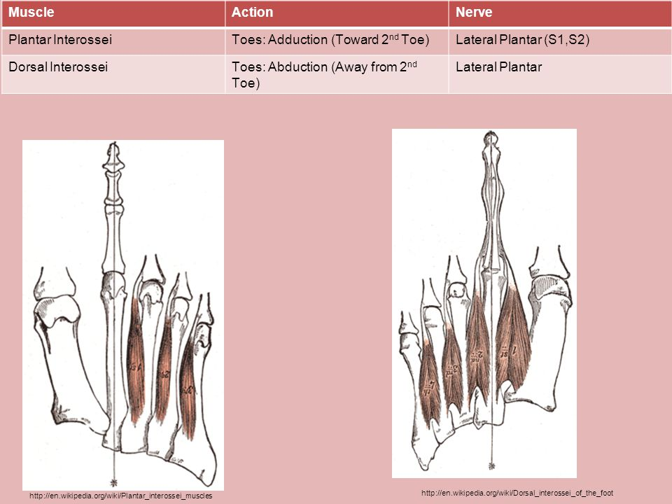Toes: Adduction (Toward 2nd Toe) Lateral Plantar (S1,S2)