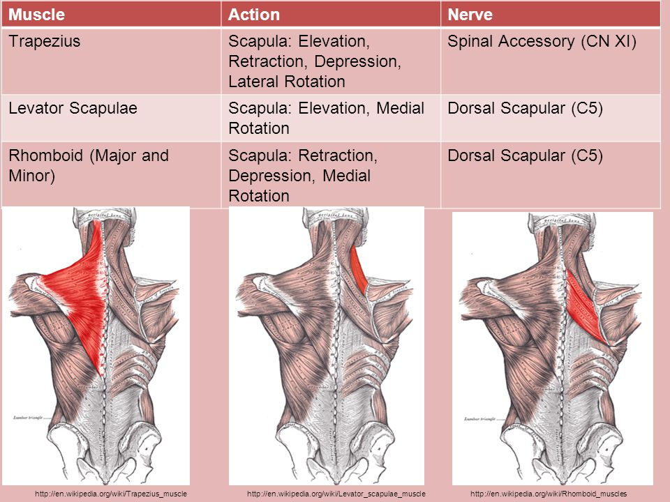 Scapula: Elevation, Retraction, Depression, Lateral Rotation